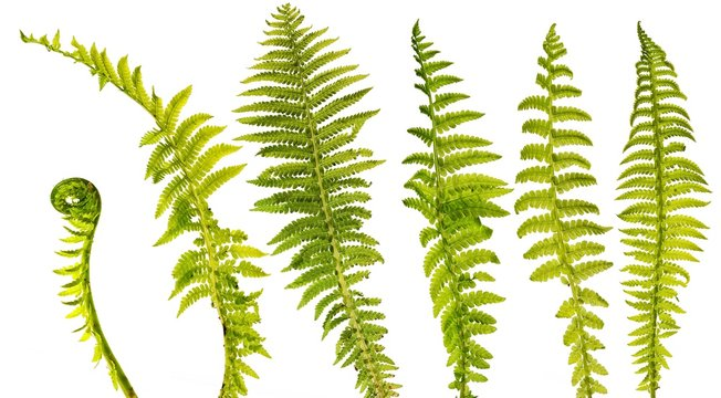 set of six different fern leaves isolated on white background