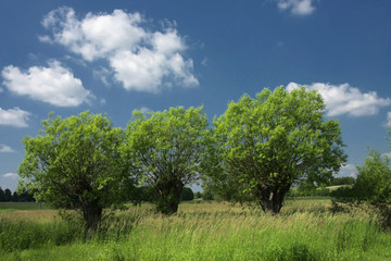 Three willows standing calmly on the lap with the blue sky - silence and rest from civilization