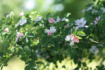 Naturally growing wild rose bush with delicate pink flowers