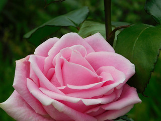 Beautiful pink rose in a garden. Dark-green grass in the background