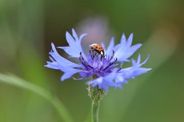 Bleuet (Cyanus segetum) et la coccielle