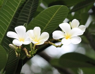 frangipani flower white background tree copy space