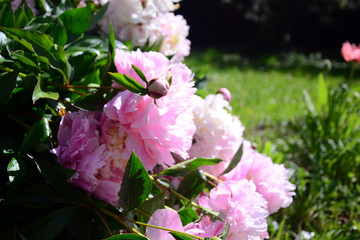 Delicate soft pink peonies in a natural grove in a garden, with sunlight