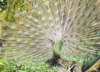 Green with blue head male Peacock showing beautiful colorful feathers by opening them wide up outside at midday to show off.