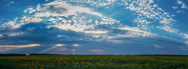 Dramatic sunset over a sunflowers fields. Agricultural landscape panorama. Rural summer sunset landscape