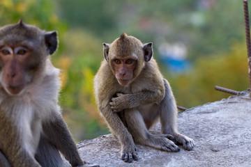 Portrait of a Baby Rhesus macaque monkey