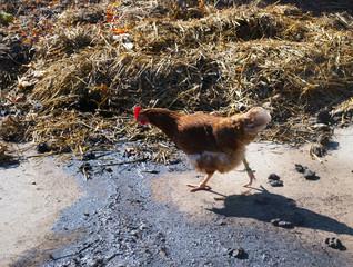Freilaufendes Huhn vor einem Misthaufen auf einem Bauernhof