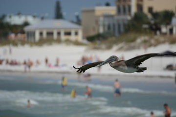 Clearwater Beach Pelican