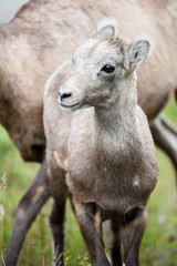 Wildlife: cute young bighorn sheep (lat. Ovis canadensis) in Jasper National Park