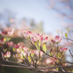Spring Dogwood Blossoms