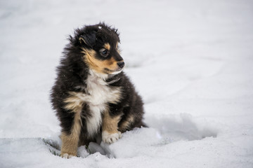 Sheltie black puppy sitting in the snow in winter. Dog portrait