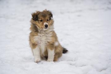 Sheltie gold puppy sitting in the snow in winter. Dog portrait