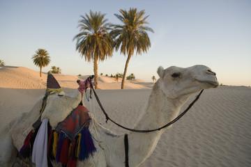 Camel in the desert oasis. Tunisia the Sahara Desert