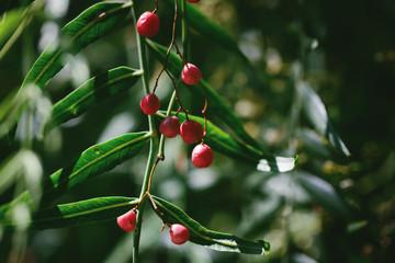 Cherry tree bearing fruit