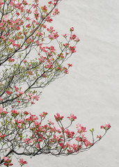 Pink Dogwood Blossoms against a White Wall.