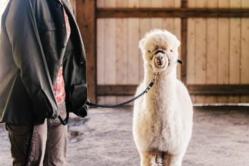 Baby alpaca on a leash in a barn.