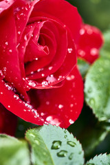 macro photograph of red rose after a scarce rain in Southern California