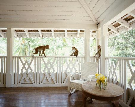 Monkeys playing on varanda. Sri Lanka