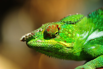 Madagascar, Nose Be, Nosy Komba, portrait of green chameleon (Panther Chameleon - Furcifer pardalis)