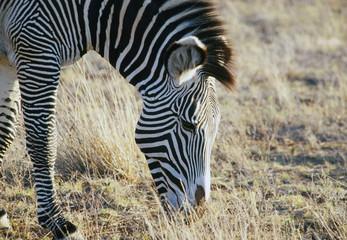 Common zebra or Burchell's zebra (Equus burchelli), Masai Mara National Reserve, Kenya, East Africa, Africa