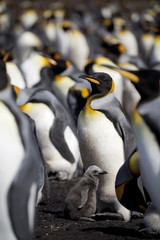 King penguin mother and chick at Falkland Island, Volunteer Point