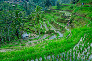 Garden Poster Rice fields Beautiful landscape with green rice terraces near Tegallalang village, Ubud, Bali, Indonesia