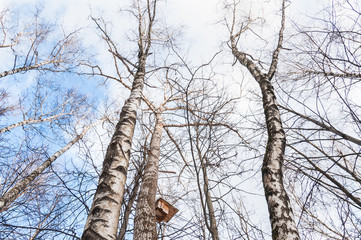 Crown of birch trees without leaves on blue sky background in winter