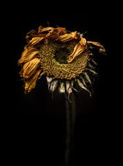 Tired sunflower