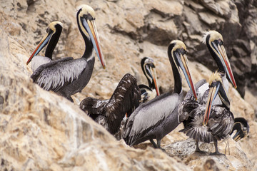 Colourful pelicans preening on a rocky outcrop