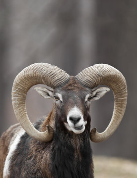 Smirking Mouflon Sheep Closeup Portrait