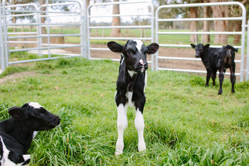 One week old calves