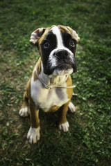 Boxer sitting in the grass