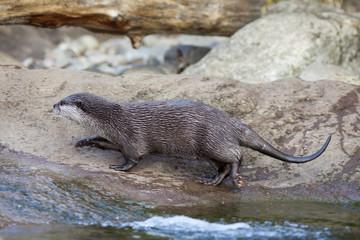 Eurasian short clawed otter