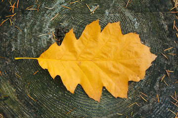 A yellow coloured autumn leave on a tree trunk