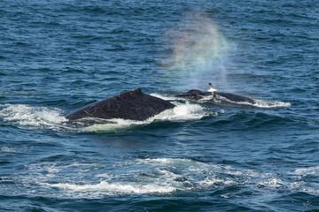 Humpback Whales (Megaptera novaeangliae) blowing, Port Stephens, Australia