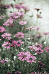 Magenta daisies in green grass fading into a pale distance