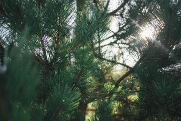 Fir tree in the sun
