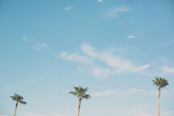 three palm tree tops