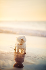 White dog shaking water droplets at the beach at sunset