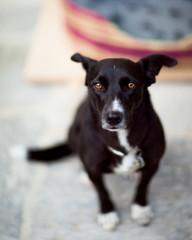 Soulful dog sitting looks straight at camera