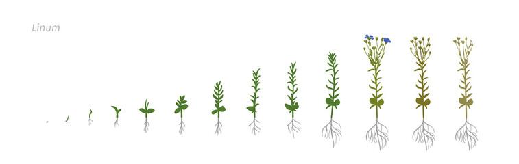 Flax Linum usitatissimum Growth stages vector illustration