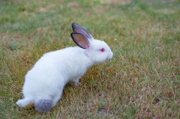 White little scared rabbit with black ears and red eyes, sniff the grass, natural lawn background