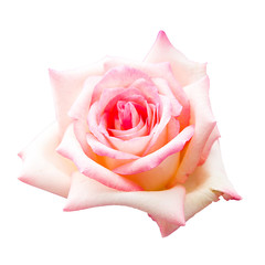 beautiful pink rose isolated on white background, flower for lover and wedding