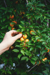 Hands picking plums