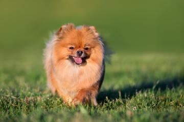 adorable red pomeranian spitz dog portrait on grass