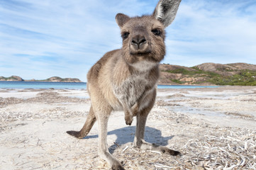 Ingelijste posters Kangoeroe KANGAROO BEACH AUSTRALIA