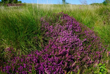 Purple heather flowers on a hill in Arran, Scotland