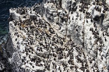 Guillemots perched on a cliffside