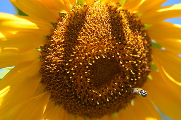 yellow sunflower with fliing bee
