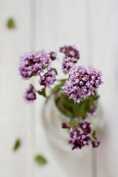 Flowered oregano